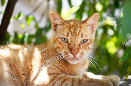 Portrait of beautiful ginger cat in the garden.