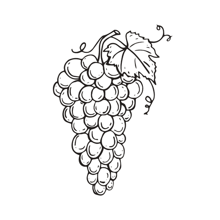 Vector image. Bunch of grapes is  hand drawn. Sketch of grapes