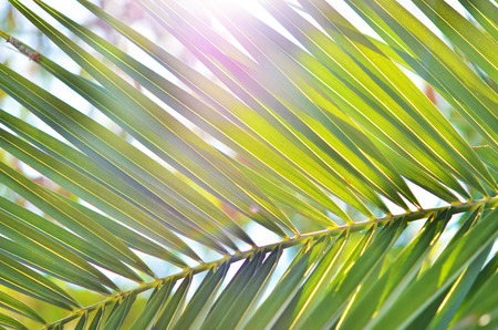 Close up of palm tree.Background image is filled with fronds from tropical Fan Palm.