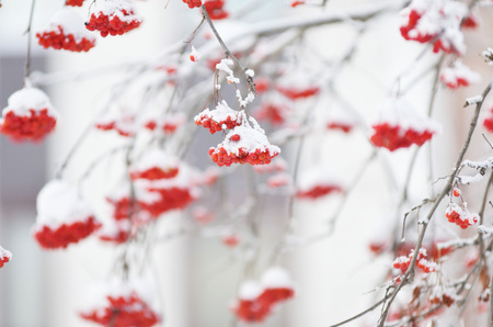 Red berries covered with snow. Rowan bunches on snowy tree. Christmas or new year concept.