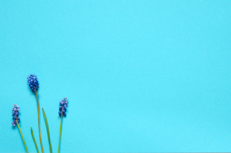Muscari flowers on blue background. Copy space. Top wiev. - Image