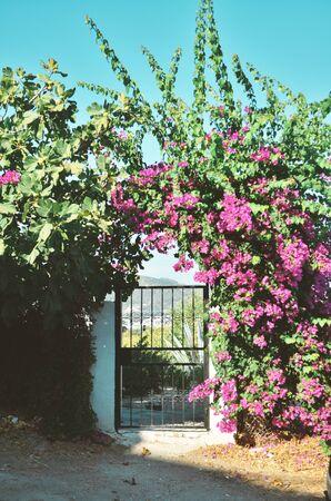 Pink Bougainvillea Flowers and Old  Door at Bodrum. Mugla, Turkey