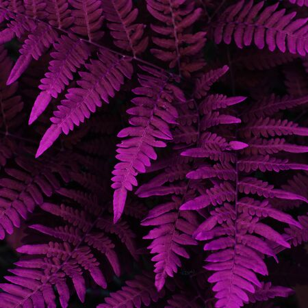 Natural fern leaves close up. Ornament leaf purple toned photo. - Image Stockfoto