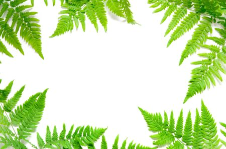 Top view of green tropical fern leaves on white background. Flat lay. Minimal summer concept. Ð¡opy space. - Image Stok Fotoğraf