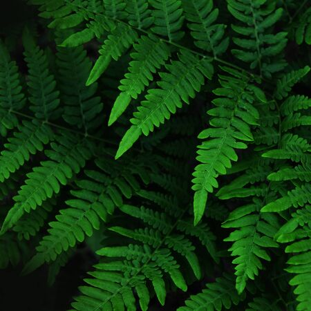 Natural green leaves fern in the forest. - Image