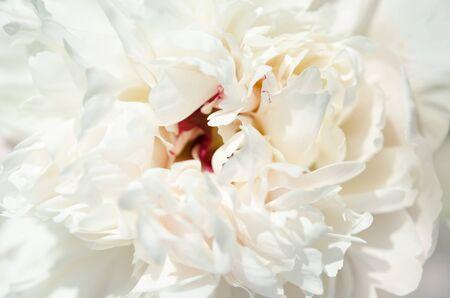Gros plan d'une belle fleur de pivoine blanche. Fond naturel. - Image Banque d'images