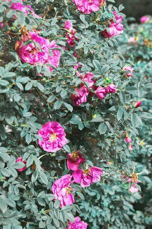 Beautiful blooming wild rose bush (dog rose, Rosa canina). - Image