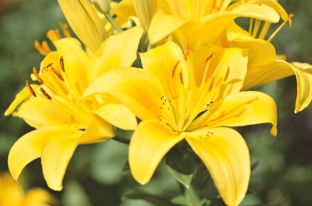 Beautiful Lily flower on green leaves background. - Image