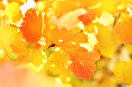 Bright autumn leaves in the natural environment. - Image Stock Photo