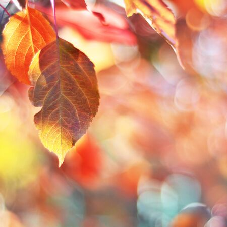 Autumn leaves on the sun. Fall blurred background. - Image Stock Photo