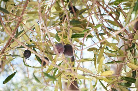 Raw ripe fresh olives growing in mediterranean garden. - Image