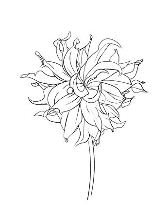 Drawn outline dahlia flower isolated on a white background. Abstract minimal plants. - vector illustration. Illustration