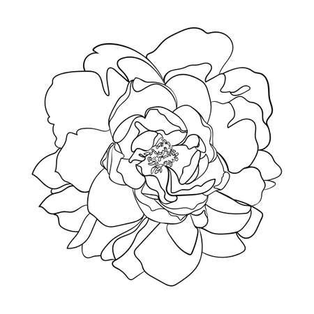 Peony flower. Line drawing. - Vector illustration Illustration