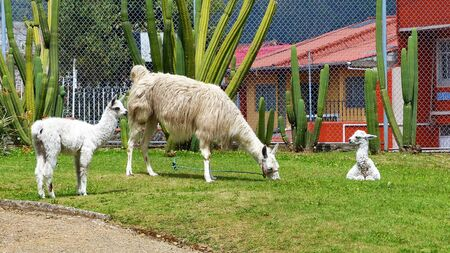 A white Llama and its two babies in Pumapungo garden among cactuses, Cuenca, Ecuador
