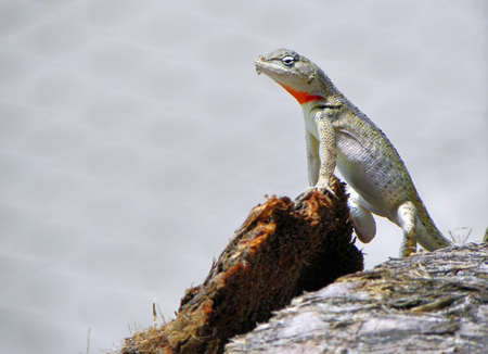Small lizard with red neck found at the coast of Ecuador 版權商用圖片