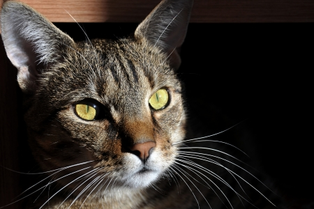 Portrait of a cat in the house on a dark background photo