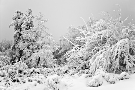 Winter in the mountain forest in black and white photo