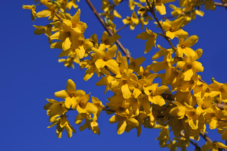 The beautiful branch of flowering yellow forsythia against a blue sky