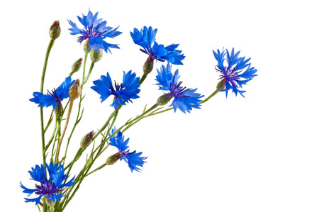 The group of blue cornflowers on white background photo