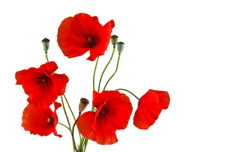 The group of red poppies on a white background photo