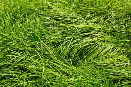 matted: The matted tall green grass with dew drops