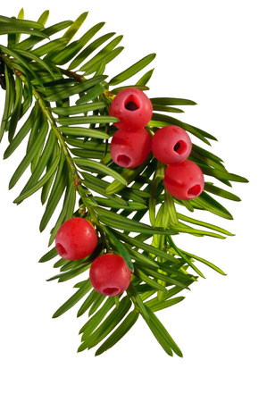 The green yew twig with red yew berries on a white background photo