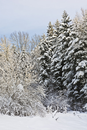 and in winter: Snow covered branches of trees and bushes on a sunny day Stock Photo
