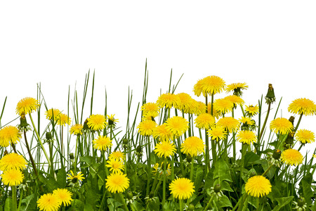 Yellow dandelion flowers on a white background in the spring photo