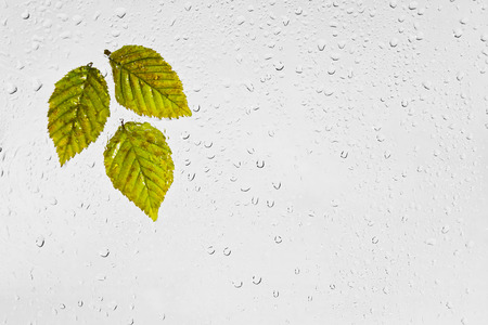 hornbeam: Colorful autumn hornbeam leaves and raindrops on the window. Colourful highlighted the wet autumn leaves with drops of water stuck to a window on a gray background.