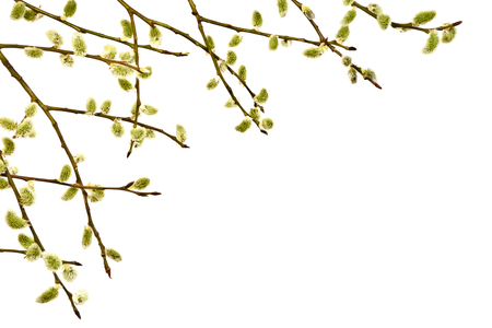 catkins: Spring twig with catkins on a white background. Easter. A few fresh sprigs with catkins. Spring.
