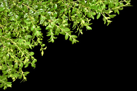 boxwood: Background with the sprigs of boxwood on a black background. Spring. Easter.