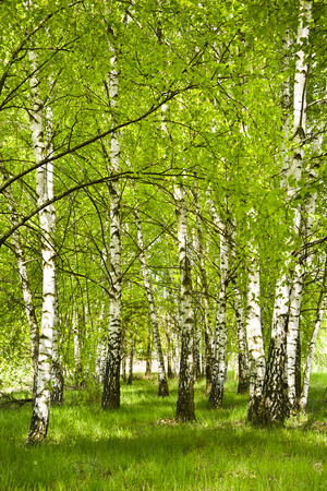 Birch grove in early spring on a sunny day. Young birch trees with young green leaves in the sunlight. Фото со стока