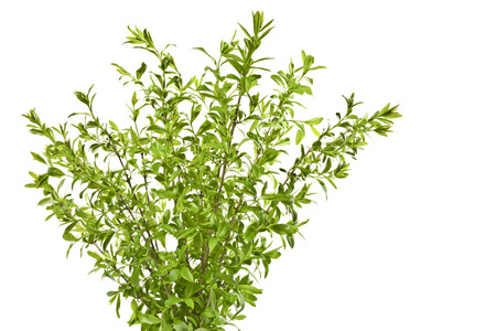 Young spring privet twigs with leaves on a white background. Several twigs of young green leaves. Spring. Stock Photo