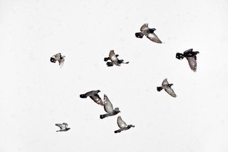 palomas volando: Flock of pigeons flying in snowstorm Flight doves during blizzard