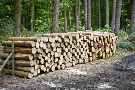 felled: Stack of felled trees in the forest. Felling old trees in the forest ready for transport. Stock Photo
