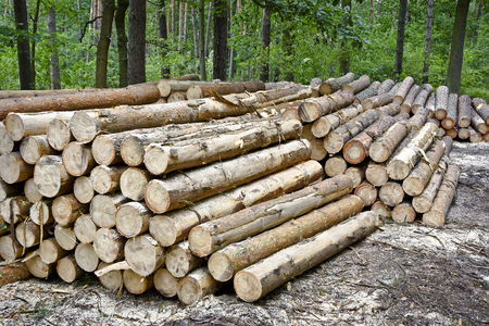 Stack of felled trees in the forest. Felling old trees in the forest ready for transport. Stock Photo