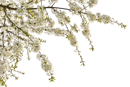 Beautifully blooming cherry tree branch with white flowers. Isolated on white background a branch of sweet cherries. Stock Photo