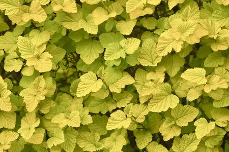 Fragment of physocarpus bush. Backgroung. Physocarpus bush in natural lighting in close-up.