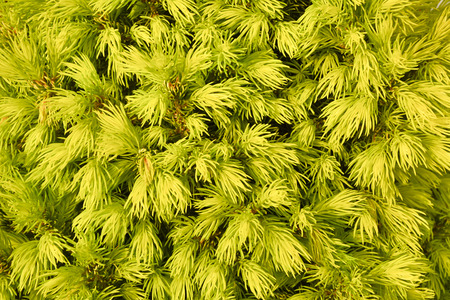 Fragment of conifer bush. Backgroung. Spruce white bush in natural lighting in close-up.