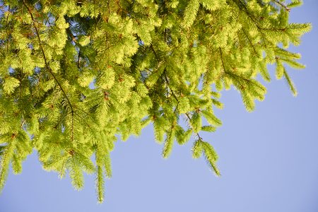 Branches of fir with young shoots against the sky. Fir branches illuminated by the afternoon sun. Stock Photo