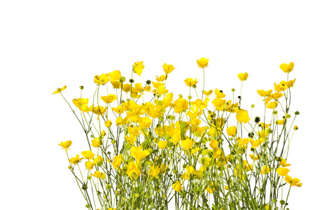 Blossoming yellow buttercups isolated on white background. Stock Photo