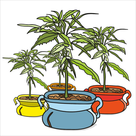 ganja: Hand drawn marijuana plants in colorful pots on white background. Vector illustrations for book, poster, design element