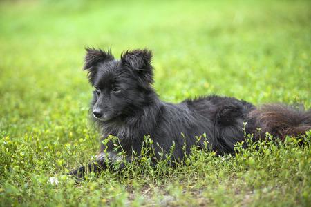 Vagrant  black  dog lying down on a green lawn.