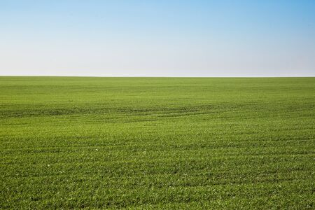 Green field landscape. Sprouts of winter wheat sprouted in an endless field in smooth light green rows close-up.