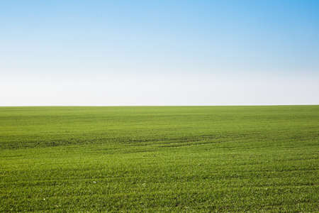 Green field landscape. Sprouts of winter wheat sprouted in an endless field in smooth light green rows close-up. Imagens
