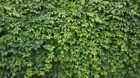 clambering: green leaf background,clambering plant