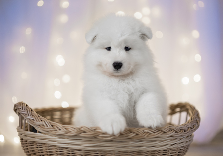 Samoyed puppy on a background of LED lights for the basket Stock Photo