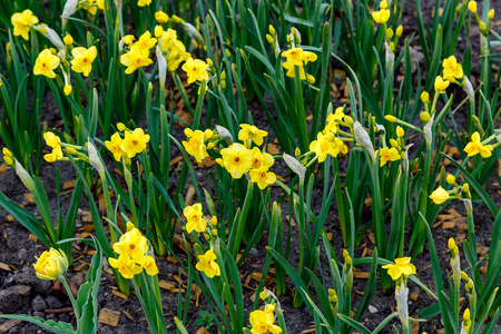 first daffodils in the flower bed in spring