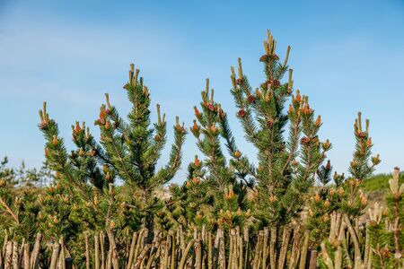 Young cones and shoots on pine branches on the background of a hedge