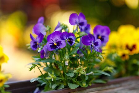 Violet-purple pansies growing in a decorative log. The background is out of focus.